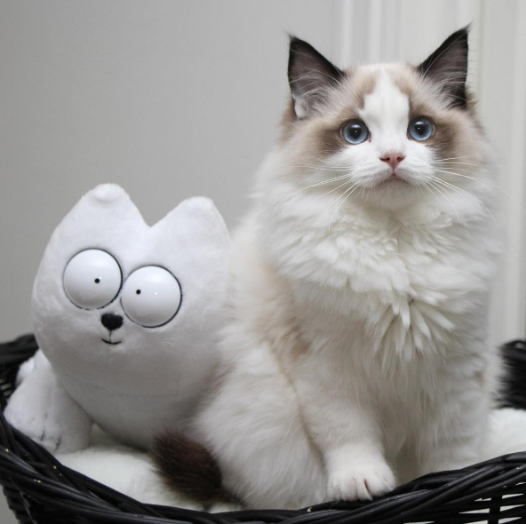Nellie Dino the Ragdoll and Simon's Cat