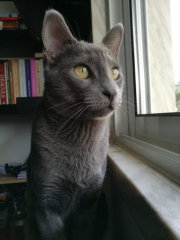 Jackie, Simon's Cat Snap submitted by @Jackie.russianblue