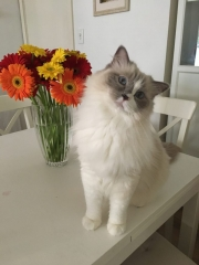 Poppy, Simon's Cat Snap submitted by @bec_poppyragdoll_minnie